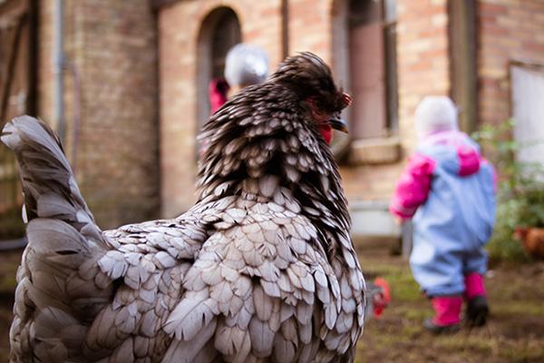 Urlaub auf dem Bauernhof - auch Hühner gab es, die man füttern konnte