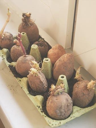 Kartoffelpflanzen im Eierkarton
